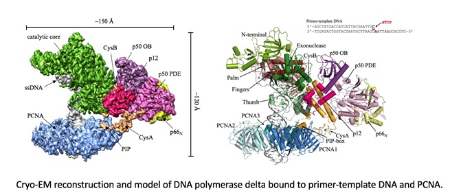 DNApol delta DNA PCNA