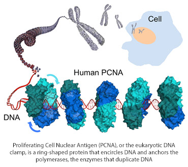 Proliferating Cell Nuclear Antigen (PCNA), or the eukaryotic DNA clamp, is a ring-shaped protein  that encircles DNA and anchors the polymerases, the enzymes that duplicate DNA