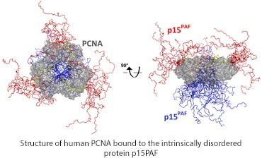 Structure of human PCNA bound to the intrinsically disordered protein p15PAF