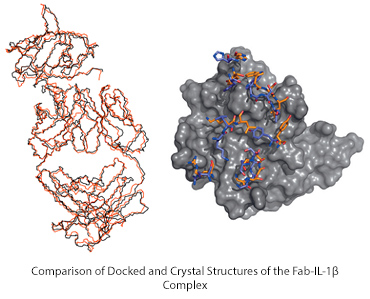 Comparison of Docked and Crystal Structures of the Fab-IL-1β Complex
